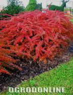 Berberys Thunberga 'Red Carpet' - ber.red.carpet1.jpg