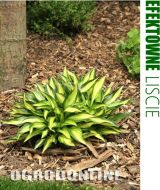 Hosta 'Little Tuft' - hosta.little.tuft1.jpg