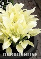 Hosta 'White Feather'® - hosta.white1.jpg