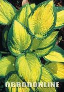 Hosta 'Orange Marmalade' - hostaorange1.jpg