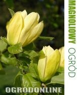 Magnolia naga 'Yellow River'  - magnolia.yell.river1.jpg