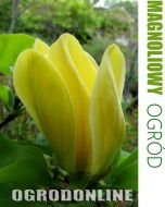 Magnolia brooklińska 'Yellow Bird' - magnolia.yellowbird1.jpg