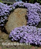 Floks szydlasty 'Emerald Cushion Blue' - phlox_emerald_cusion_blue1.jpg