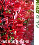Głogownik Frasera 'Little Red Robin' - photinia1.jpg