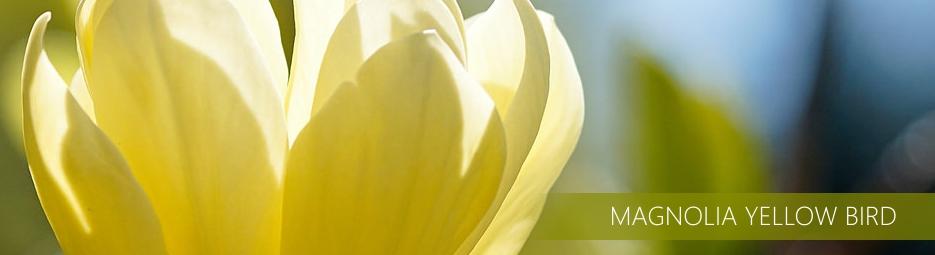 http://www.ogrodonline.com.pl/601,magnolia-brooklinska-yellow-bird-.html