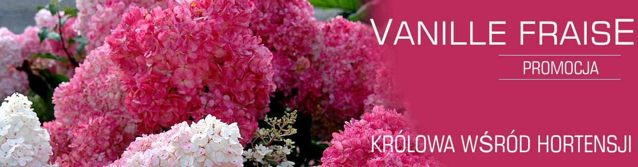 http://www.ogrodonline.com.pl/195,hortensja-bukietowa-renhy-vanille-fraise-.html